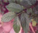 Niyog- Niyogan (Quisqualis Indica L.)