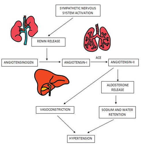 hypertension pathophysiology 1